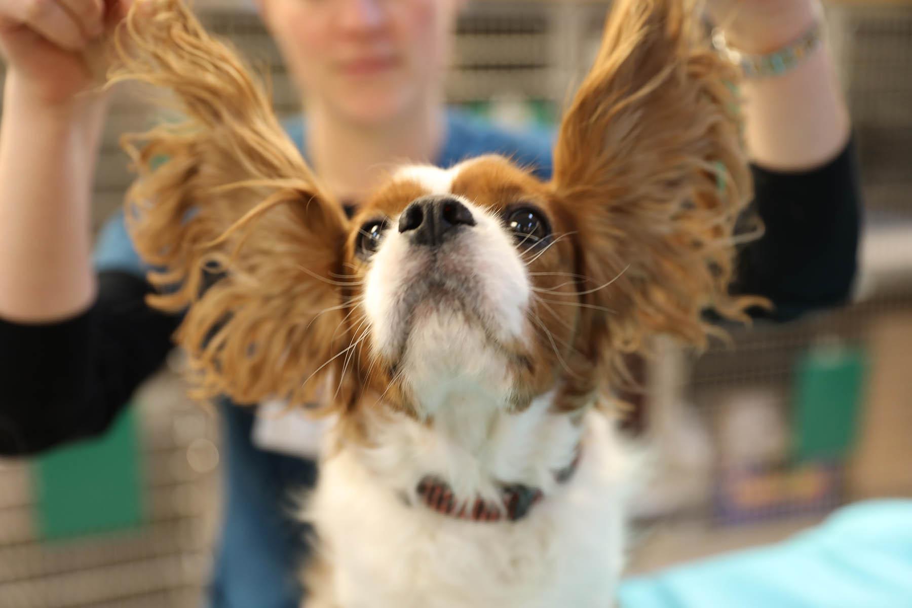 Dog getting ear exam